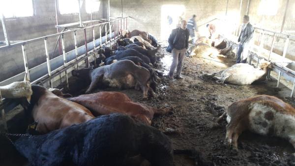 Gümüşhane Merkeze Bağlı Yaylademir Köyünde Hayvancılık işinle uğraşan Yalçın ailesinin 50 Büyükbaş hayvanından 21'ri telef olduğu gören çiftçi durumu yetkililere bildirmesinin ardından hayvanların neden telef olduğundan dolayı yetkili birimler tarafından soruşturma başlatıldı.