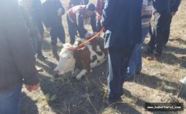 250 Büyükbaş,hayvan zehirlenmekten  kurtarıldı!